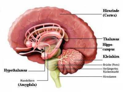Belohnungszentrum Im Gehirn